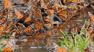 mariposas-monarca-shutterstock_664881562.jpg