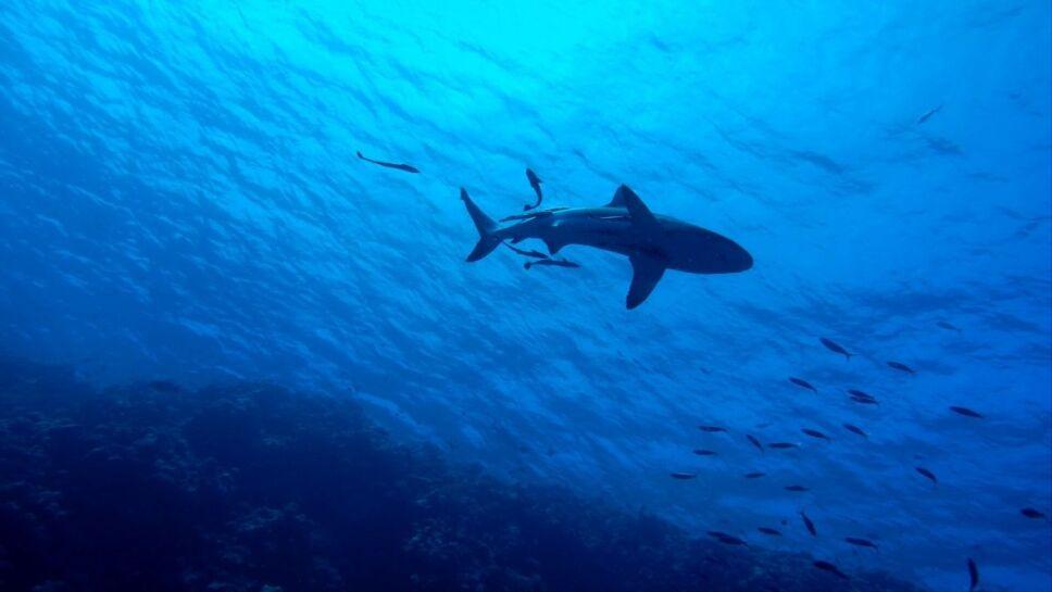 Tiburones, especies, peligro de extinción b.jpg
