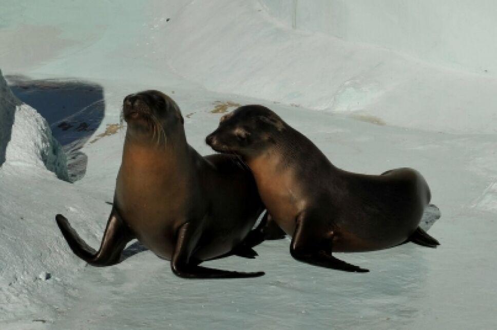 Nombran Sagar y Balto a dos lobos marinos en Sonora