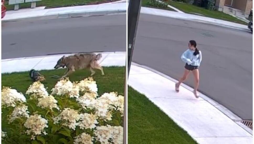 VIDEO: Perrito yorkshire se enfrenta a coyote para defender a su dueña