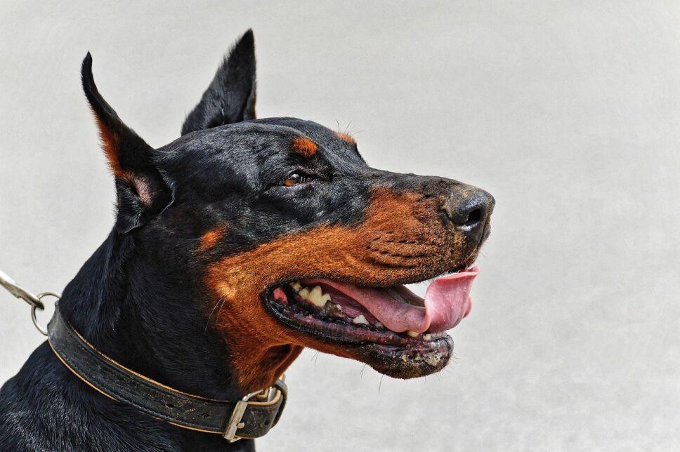 perros, razas, inteligentes, cuáles son f.jpg