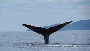 ballenas-azules.jpg