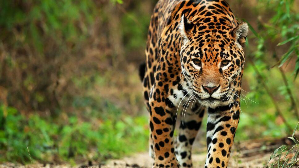 El jaguar mexicano: el felino prehispánico al borde de la extinción