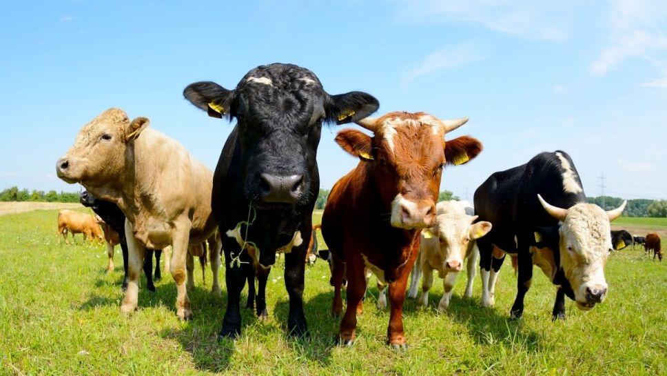 Vacas, letrinas, contaminación, amoniaco b.jpg