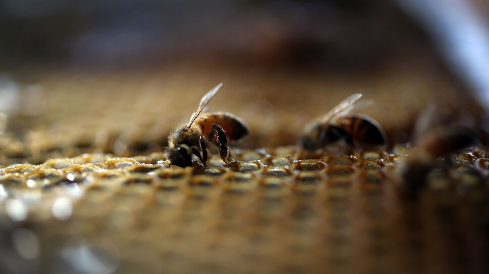 Obama Administration Announces New Measures To Protect Bee Populations