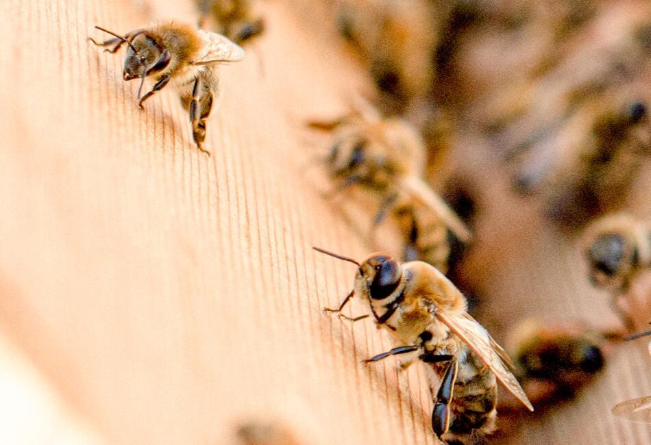 Cuánto viven las abejas. Por lo general, las abejas obreras solo viven hasta 28 días.