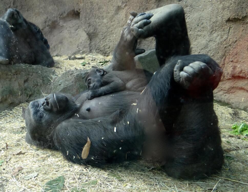 gorila con cria dormidos