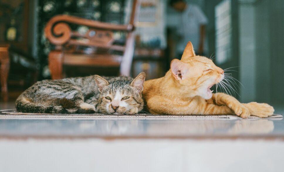 Gatos con covid