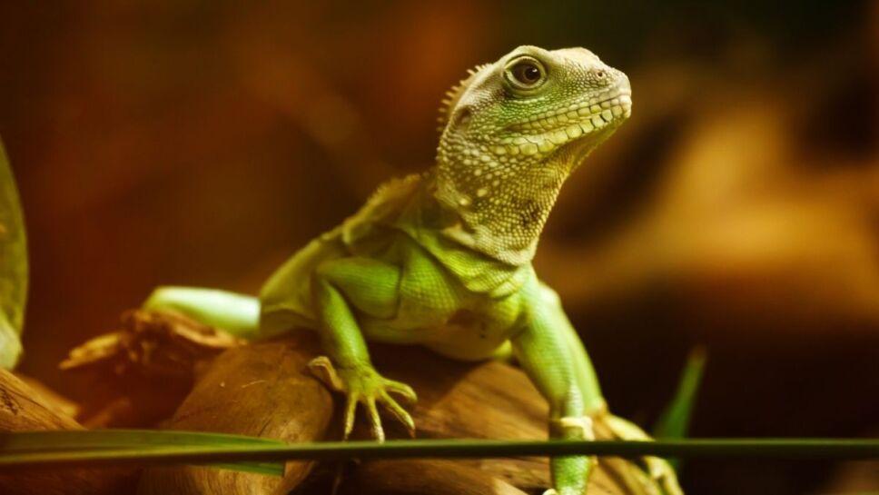 gecko, falla masiva, reto.jpg