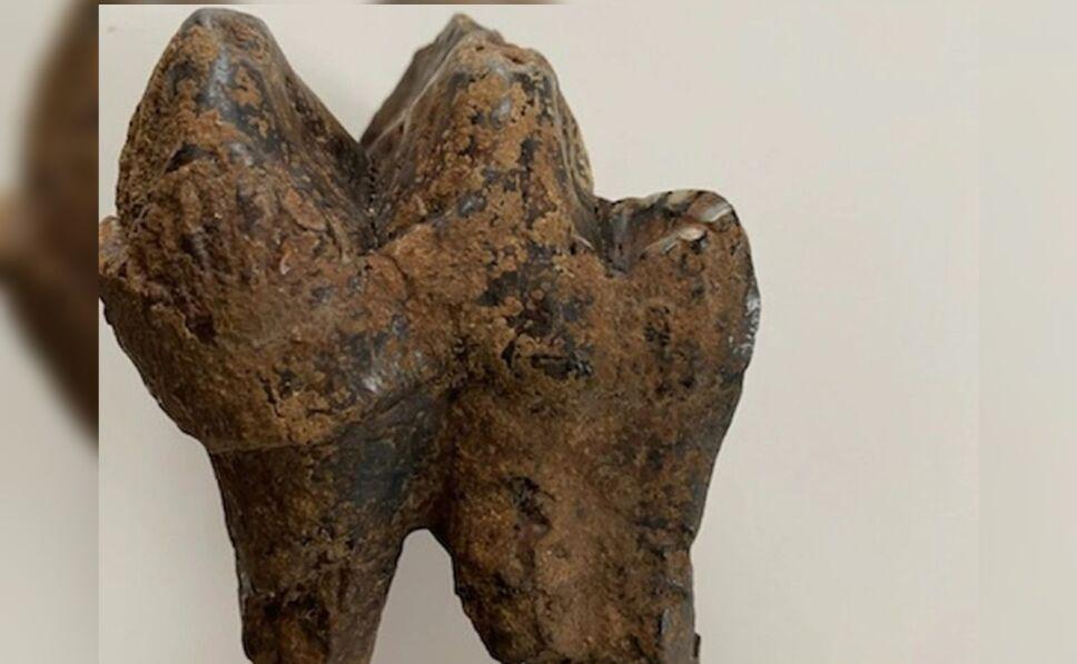 fósil mastodonte niño EU.jpg