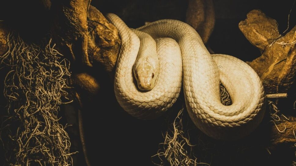 Serpientes, especies, asteroide b.jpg