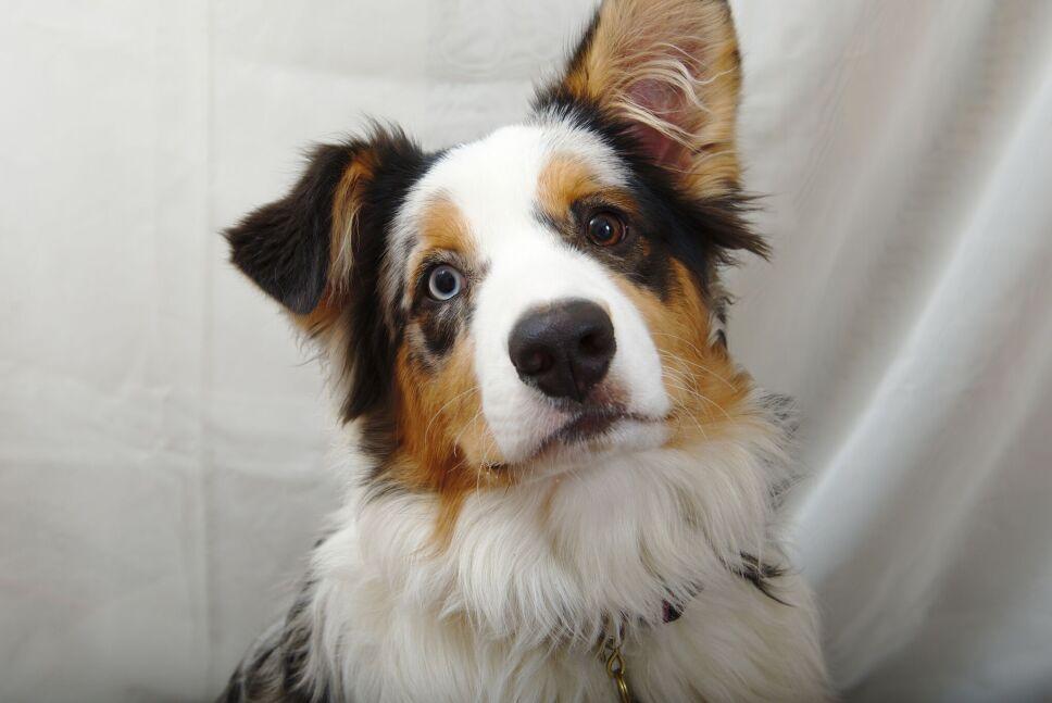 perros, razas, inteligentes, cuáles son wikimedia.jpg