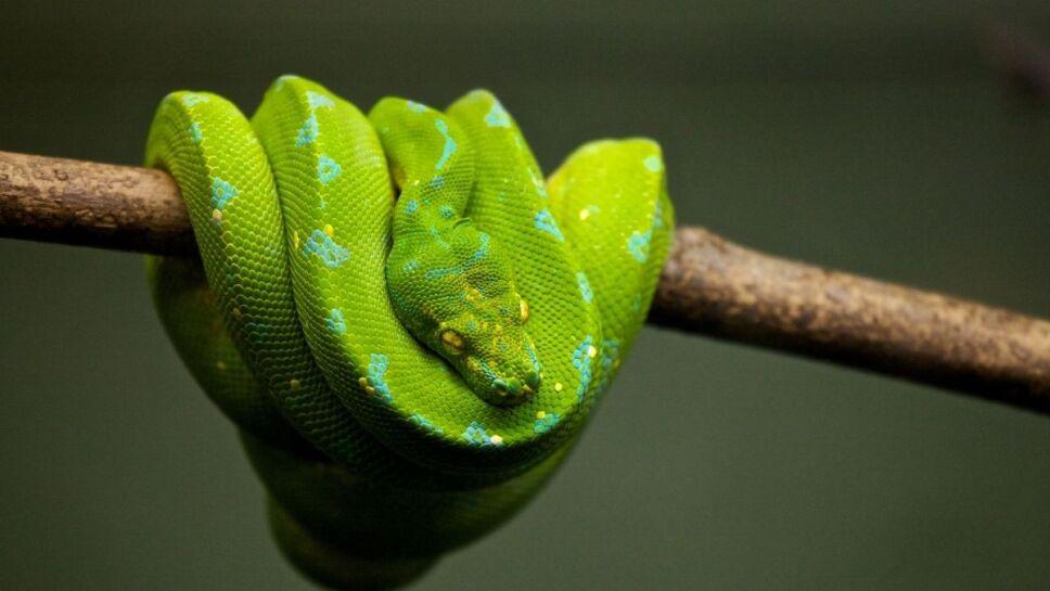 Serpientes, especies, asteroide c.jpg