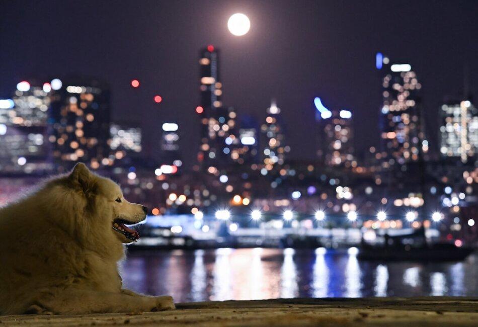 La superluna desde Sydney con un perro en la foto