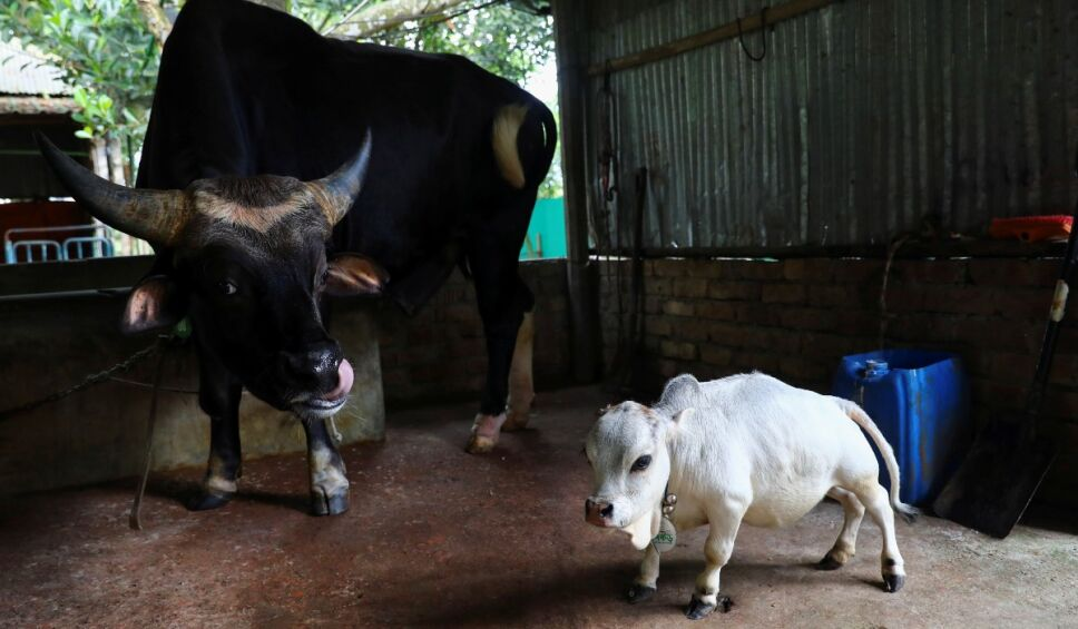 vaca Rani Bangladesh.jpg
