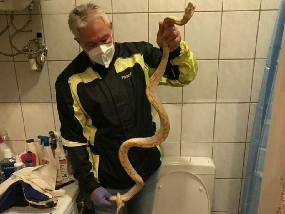 La serpiente fue sacada de la taza de baño.