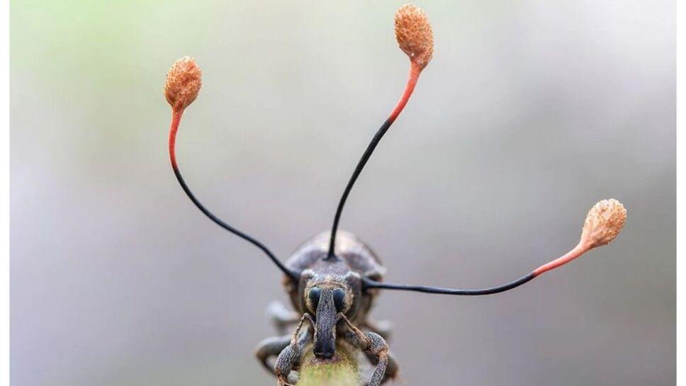 hongo zombie, escarabajo a.jpg