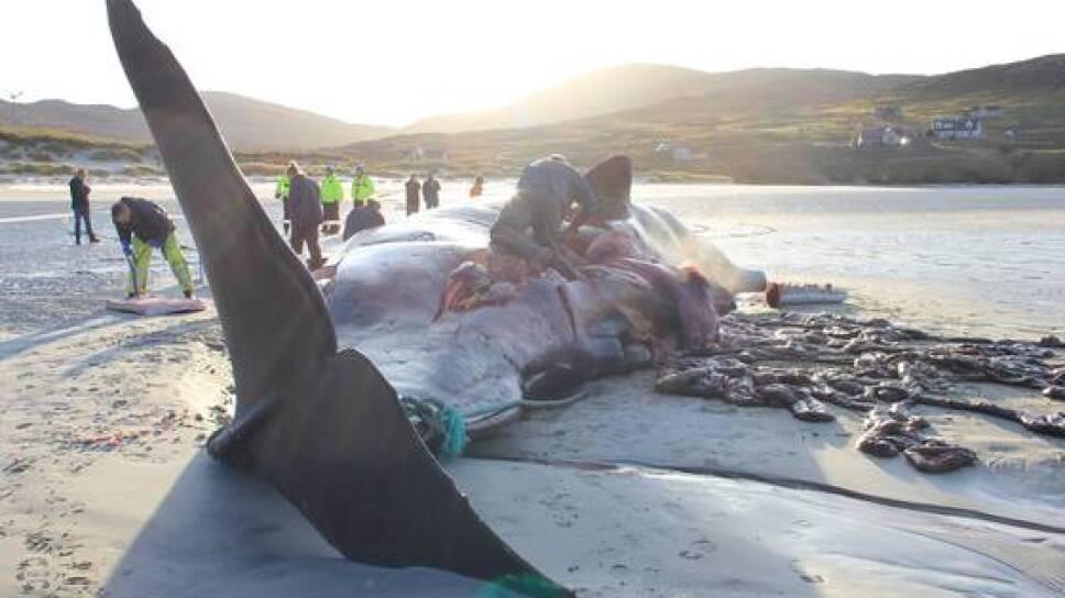 Encuentran 100 kilos de basura en estómago de ballena