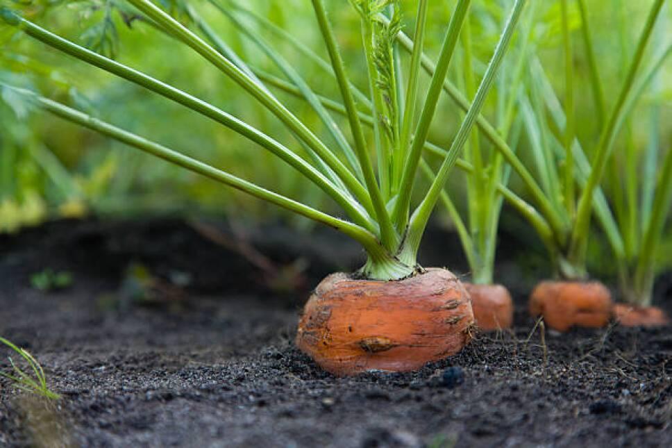 zanahorias creciendo en el huerto en casa.jpg