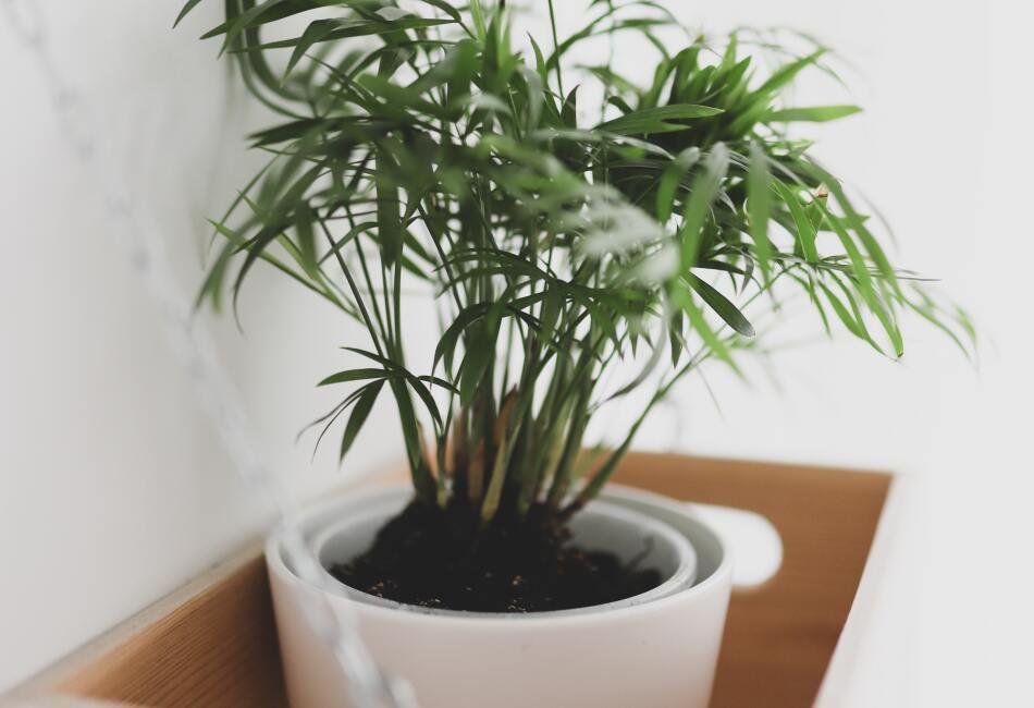Palmera de Bambú. Esta planta asiática ayuda a limpiar el aire de gases como el amoniaco, el xileno y el formaldehído.