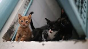Gatos que están bajo el cuidado y la protección de la oficina de la Unidad de Cuidado de Animales del municipio se ven dentro de una jaula, en medio del brote de coronavirus (COVID-19), en Bogotá, Colombia.