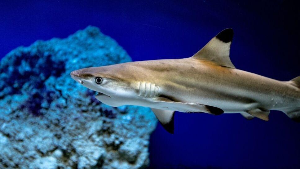 Tiburones, especies, peligro de extinción c.jpg