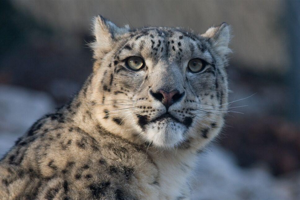 VIDEO Captan raro leopardo de las nieves en Kazajistán