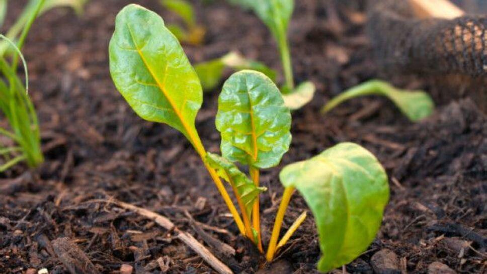 cultivo de espinaca.jpg