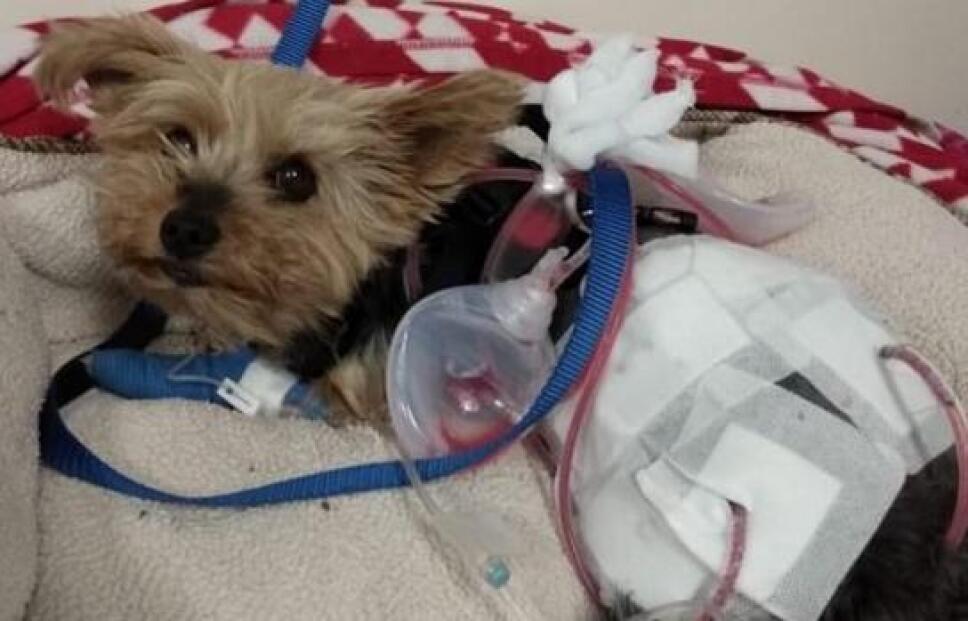 Macy un perrito yorkshire se enfrentó a un coyote que intentaba atacar a Lily Kwan, su dueña, de 10 años.