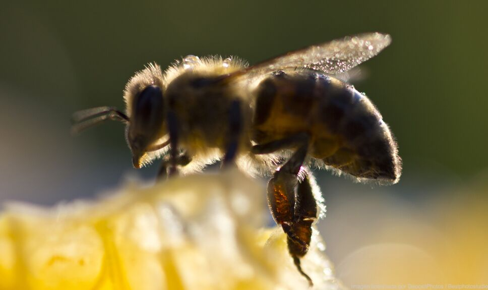 ddc abeja