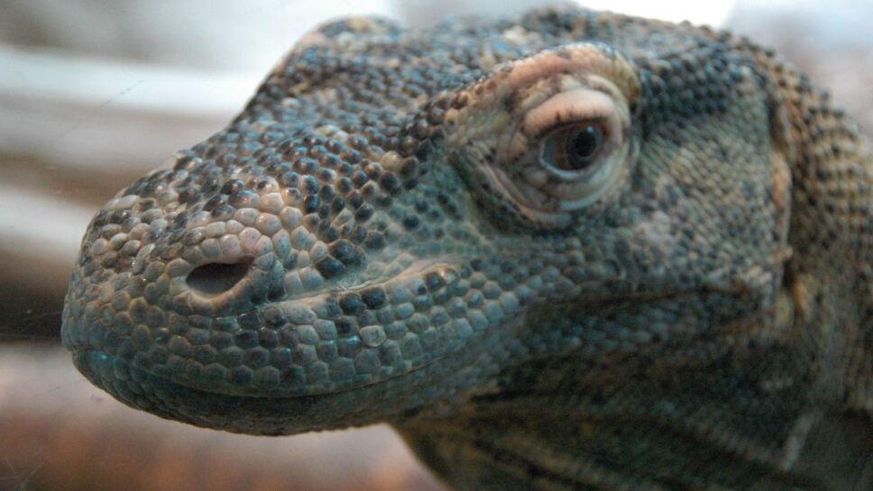Dragón de Komodo, peligro de extinción, cambio climático d.jpg