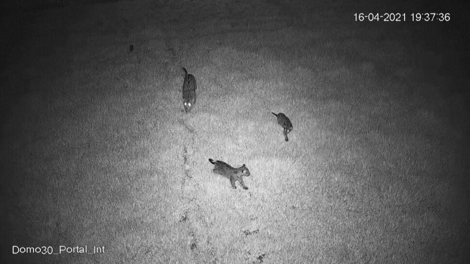 En Argentina familia de jaguares regresa a su hábitat salvaje