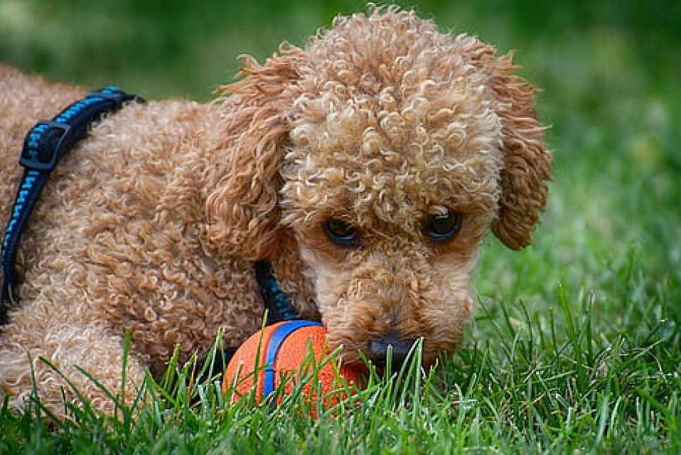 perros, razas, inteligentes, cuáles son piqsels.jpg