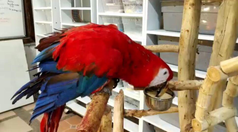 En el Zoológico Miguel Álvarez del Torode Tuxtla Gutiérrez se recupera Chito, una guacamaya rescatada del tráfico ilegal.png