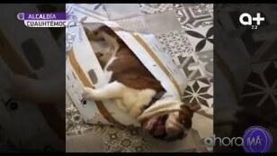 ¡Acto lleno de crueldad! Conoce la historia de Emilio, el perro bulldog inglés que fue secuestrado.