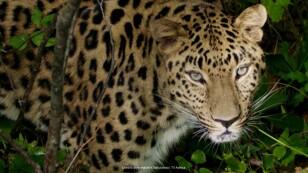 El leopardo de amur es uno de los felinos más amenazados de todo el planeta.