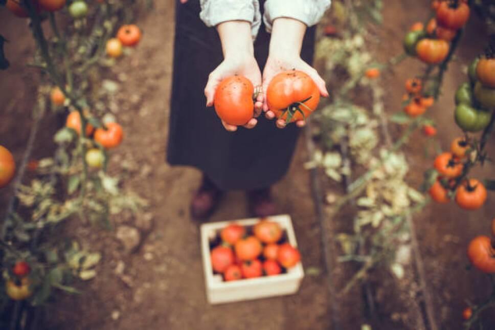 tomatescultivadosenhuertosencasa.jpg