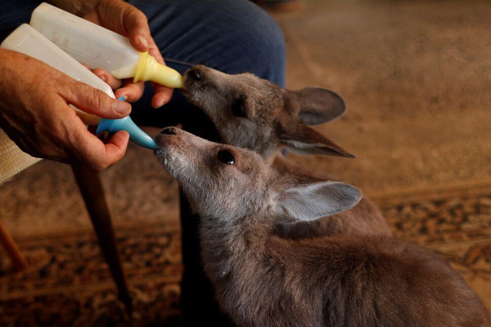 Julie Willis alimenta a canguros huérfanos que fueron rescatados durante la temporada de incendios forestales, en la sala de su casa, Wytaliba