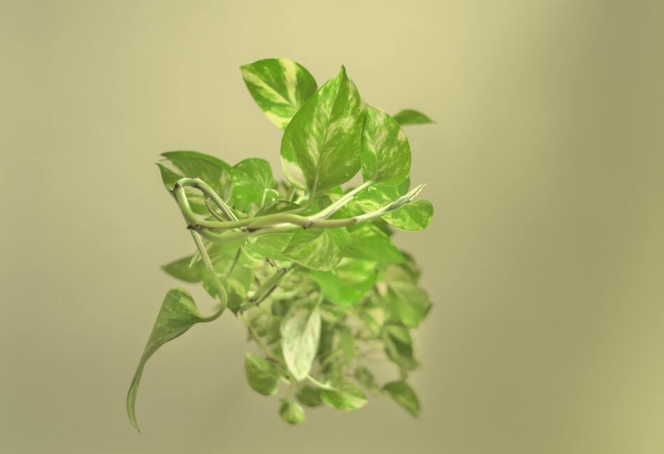 Esta planta es capaz de acabar con el benceno, el formaldehído y el xileno. Además las puedes mantener en agua o en tierra.