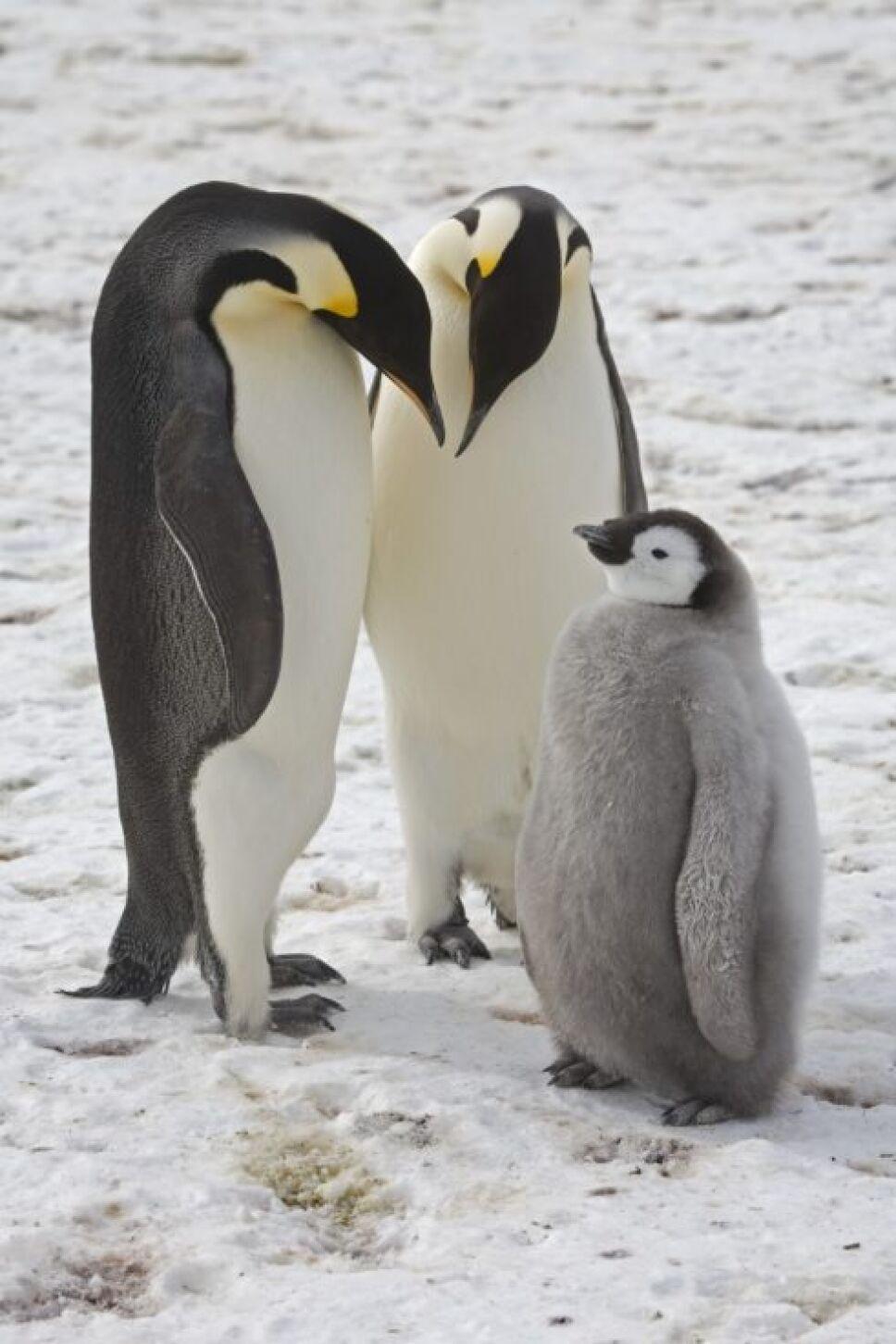Mueren miles de crías de pingüinos en la Antártida por el cambio climático