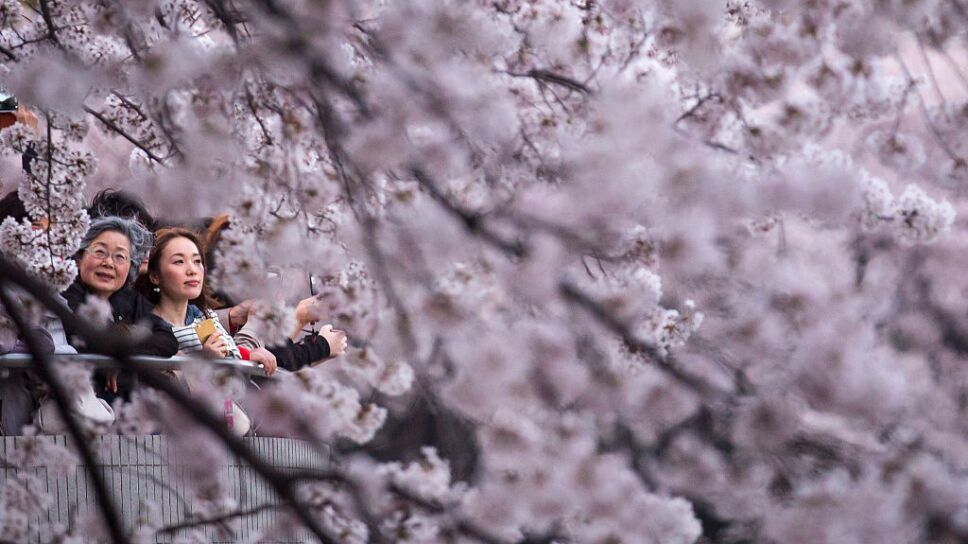 People Enjoy Cherry Blossom In Japan