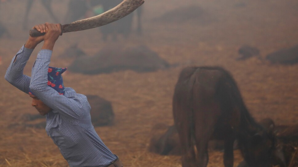 """A butcher swings his blade to sacrifice a buffalo inside an enclosed compound during the sacrificial ceremony of the """"Gadhimai Mela"""" festival held at Bariyarpur"""